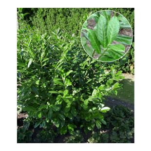 Kirschlorbeer-Hecke, 1 Pflanze Prunus Caucasica