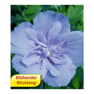 Gefüllter Hibiskus Chiffon blau 1 Pflanze Hibiscus syriacus winterhart