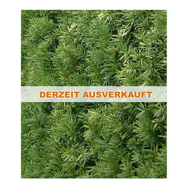 fruchtende becher eibe 1 pflanze taxus media hicksii eibenhecke online kaufen. Black Bedroom Furniture Sets. Home Design Ideas