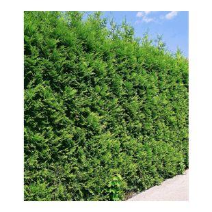 """Thuja Lebensbaum """"Brabant"""",1 Pflanze Thuja occidentalis Brabant Thujahecke"""