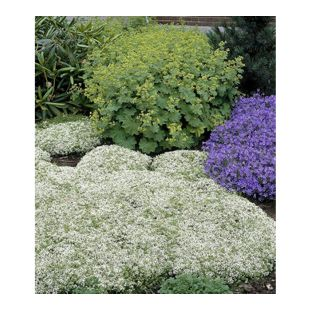 Weißer Polsterthymian; 3 Pflanzen Thymus praecox Albiflorus