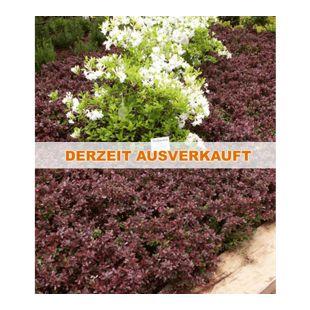 Kleine Blutberberitze,1 Pflanze Berberis thunbergii Atropurpurea Nana
