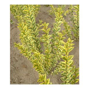Gold-Liguster,1 Pflanze Ligustrum ovalifolium Aureum