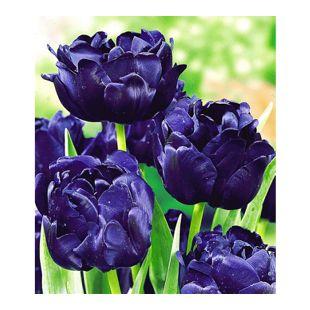 Tulpen 'Blue Diamond', 8 Zwiebeln