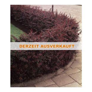 Berberitzenhecke, 5 Heckenpflanzen Berberis