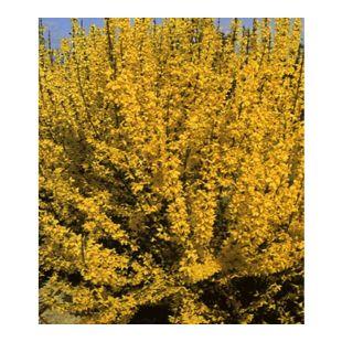 Forsythie,1 Pflanze Goldglöckchen Goldflieder (Forsythia)