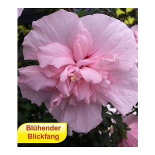 Gefüllter Hibiskus Chiffon pink 1 Pflanze Hibiscus syriacus winterhart
