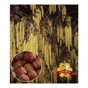 """Haselnuss """"Waldhasel"""",1 Pflanze Nussbaum"""