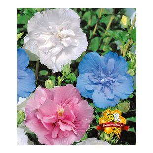 Hibiskus Chiffon-Kollektion 3 Pflanzen pink, blau, weiß Hibiscus syriacus