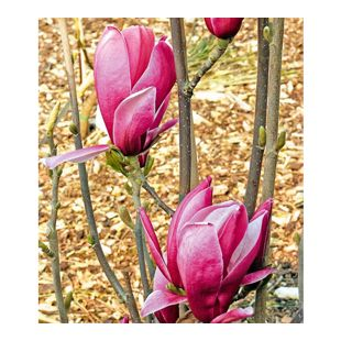 "Magnolie ""March Till Frost"",1 Pflanze"