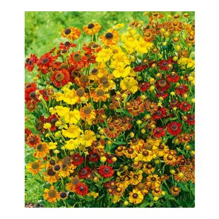 "Helenium ""Indian Summer Mix"",5 Knollen"