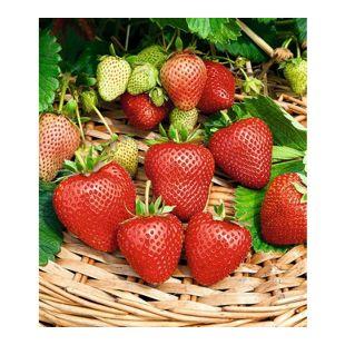 Immertragende Erdbeere Buddy®,3 Pflanzen