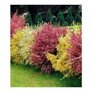 "Ginster-Hecke ""Tricolor"",3 Pflanzen"