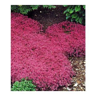 Winterhart Bodendecker-Thymian Thymus, 3 Pflanzen