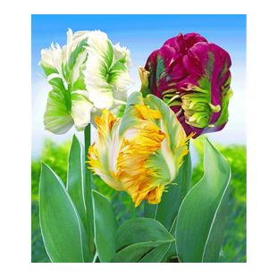 Papageien-Tulpen-Mix, 12 Stück Tulipa Mischung