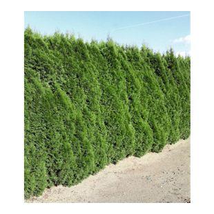 Lebensbaum-Hecke 'Smaragd' 40-60cm hoch, 1 Pflanze Thuja occidentalis Smaragd