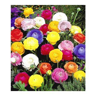 Gefüllte Ranunkeln, 30 Stück Blumenzwiebeln