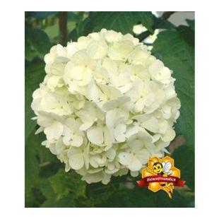 Echter Gefüllter Schneeball, 1 Pflanze Viburnum opulus 'Roseum'
