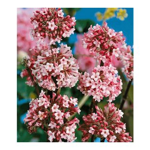 Winter-Schneeball 'Charles Lamont', 1 Pflanze Viburnum bodnantense