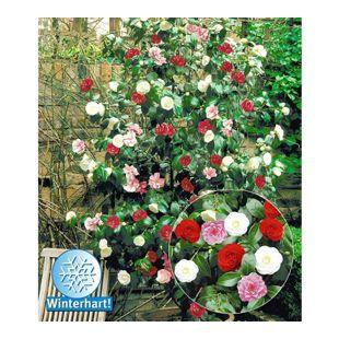 Winterharte Garten-Kamelie 'Tricolor', 1 Pflanze Camellia japonica
