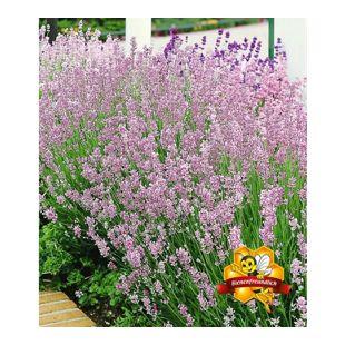 Duft-Lavendel 'Rosa', 3 Pflanzen Lavandula angustifolia