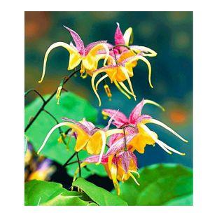 "Epimedium ""Fire Dragon®"",2 Pflanzen Elfenblume Staude des Jahres 2014"