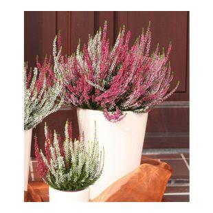 Calluna 'Gardengirls®' Tricolor Winterheide, Heidekraut Farb-Mix, 3 Töpfe