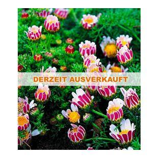 Winterharter Bodendecker Afrikanisches Ringkörbchen, 3 Pflanzen Anacyclus depressus
