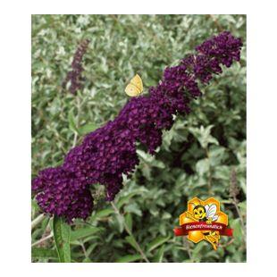 """Sommerflieder """"Nanho Purple"""";1 Pflanze Buddleja davidii"""