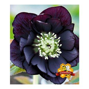 Gefüllte Christrose Black Swan 1 Pflanze Helleborus