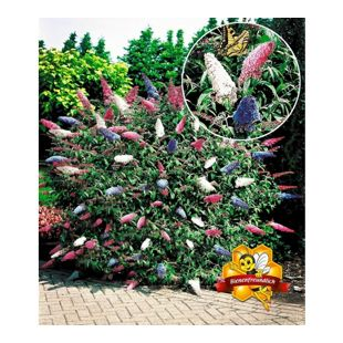Sommerflieder 'Papillion Tricolor' Buddleia, 1 Pflanze Buddleja davidii