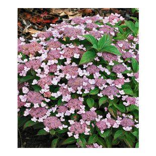 Zwerg-Hortensien 'Lace Delight', Hydrangea Serrata, 1 Pflanze
