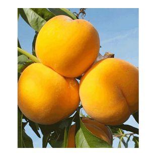 Pfirsich-Aprikose 'Honeymoon', 1 Pflanze, Percoca Pfirsichbaum Aprikosenbaum