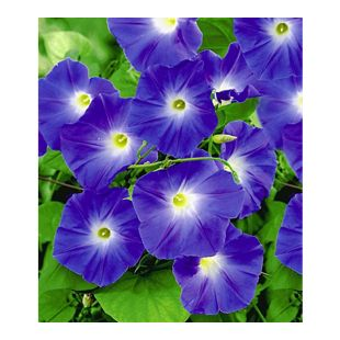 Trichterwinde 'Blue Hardy', 1 Pflanze Ipomoea indica