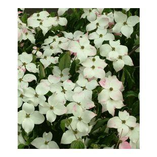 Japanischer Blüten-Hartriegel, 1 Pflanze Cornus kousa