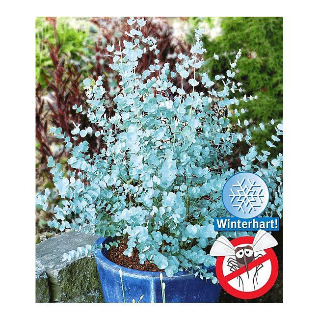 winterharter eukalyptus 39 azura 39 1 pflanze eucalyptus. Black Bedroom Furniture Sets. Home Design Ideas