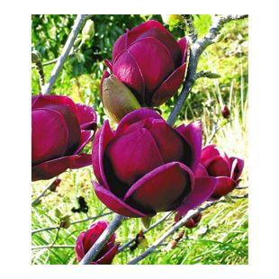 "Magnolie ""Genie®"";1 Pflanze"