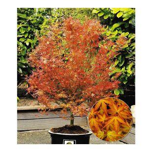 Japanischer Ahorn 'Katsura', 1 Pflanze Acer palmatum