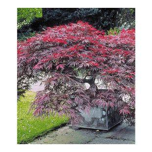 Japanischer Ahorn 'Burgund', 1 Pflanze Acer palmatum