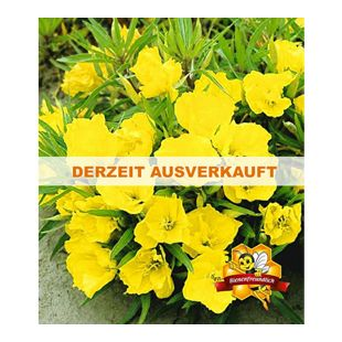 Nachtkerze, 3 Pflanzen Oenothera