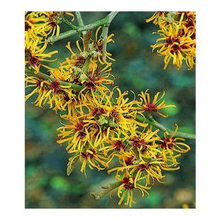Zaubernuss, 1 Pflanze Hamamelis mollis Pallida Winterblüher