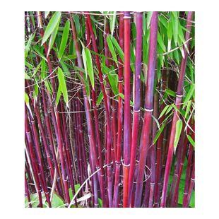 Roter Bambus 'Chinese Wonder', 1 Pflanze