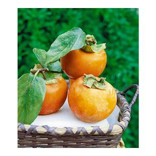 Winterharte Kaki, Sharon-Frucht 1 Pflanze Diospyros kaki