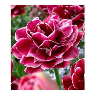 "Rosentulpe ""Dream Touch""; 8 Zwiebeln Tulipa"