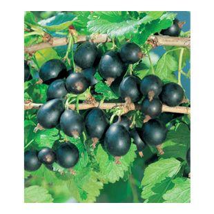 Jostabeere, Jochelbeere 1 Pflanze Ribes
