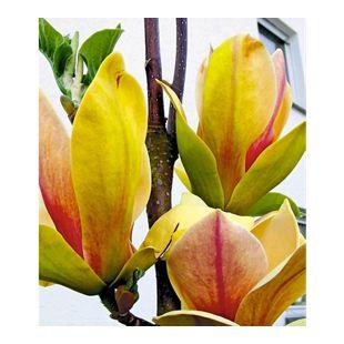"Magnolie ""Sunsation"",1 Pflanze"