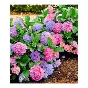 "Winterharte Freiland-Hortensie ""L.A. Dreamin®"" 1 Pflanze Hydrangea"