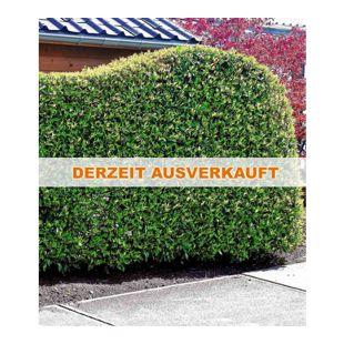 Portugiesischer Kirschlorbeer 1 Pflanze Prunus lusitanica winterhart