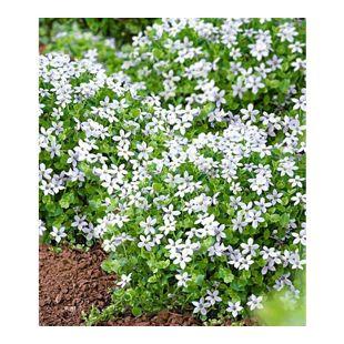 """Weiße winterharte Isotoma """"White Splash"""",3 Pflanzen blühender Bodendecker"""