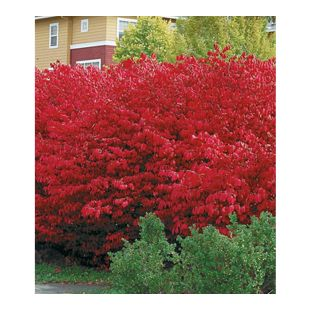 Euyonimus Compact 'Burning Bush' Spindelstrauch, 3 Pflanzen
